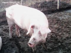 Porci pt. Craciun, rasa (PIC) de carne