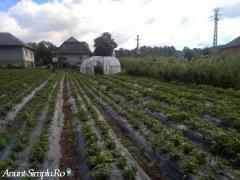 Stoloni (plante) de căpșuni viguroși! Transport gratuit!