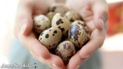 Vindem oua de incubatie, prepelite si pui de prepelita