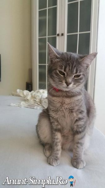 Pierdut pisica gri cu zgarda rosie