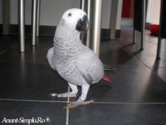 papagal jako femela