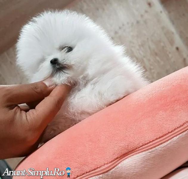 Spitz Pomeranian miniatură